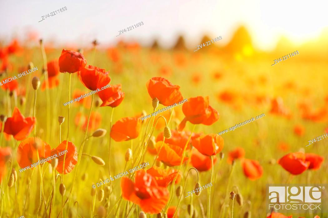 Stock Photo: A field of flowerig Corn poppies (Papaver rhoeas) in a corn field in summer.