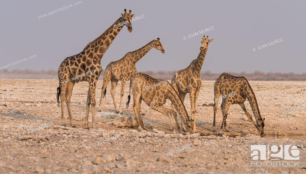 Stock Photo: Giraffe (Giraffa camelopardalis). Etosha National Park. Namibia. Africa.