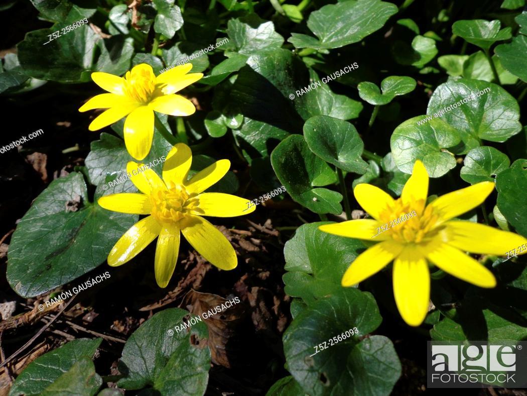 Stock Photo: Lesser celandine (Ranunculus ficaria). Catalonia, Spain,.