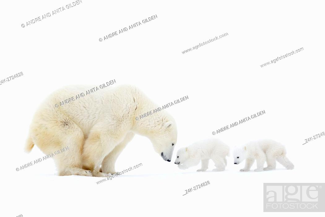 Imagen: Polar bear mother (Ursus maritimus) standing on tundra with two new born cubs, Wapusk National Park, Manitoba, Canada.