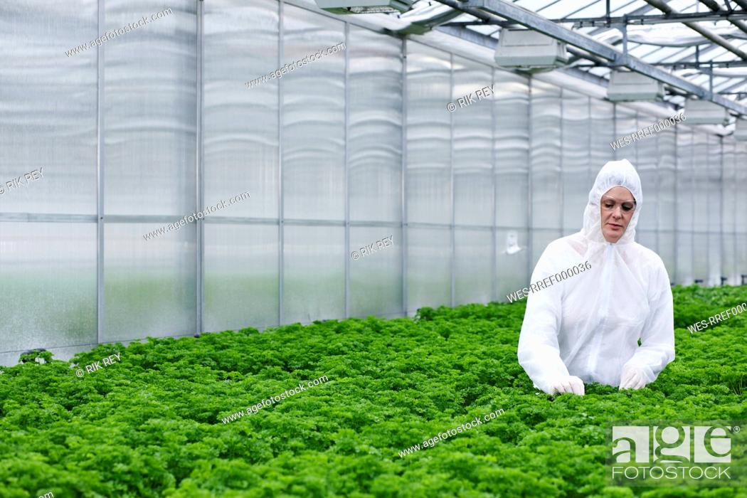 Stock Photo: Germany, Bavaria, Munich, Scientist examining parsley plants in greenhouse.