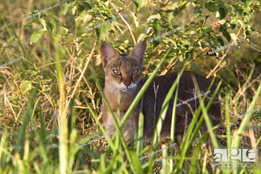 Stock Photo: Jungle Cat - Sri Lanka.