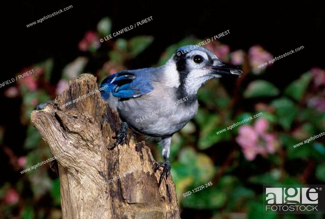 Imagen: Blue Jay on a tree, North Carolina, USA.