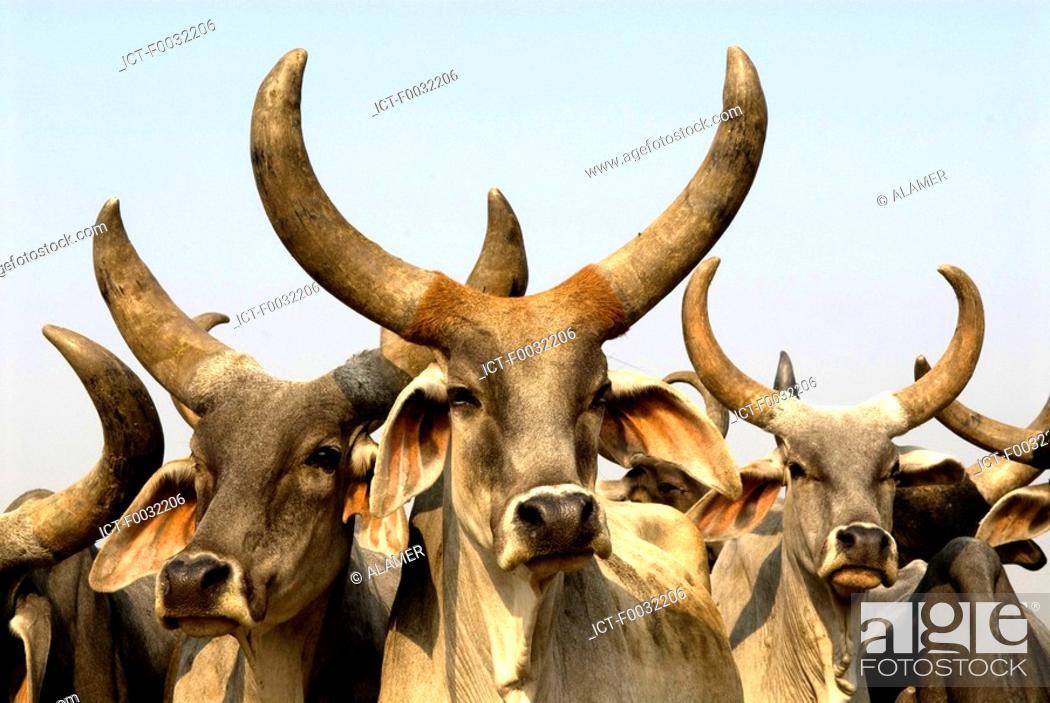 Stock Photo: India, Haryana, cattle.
