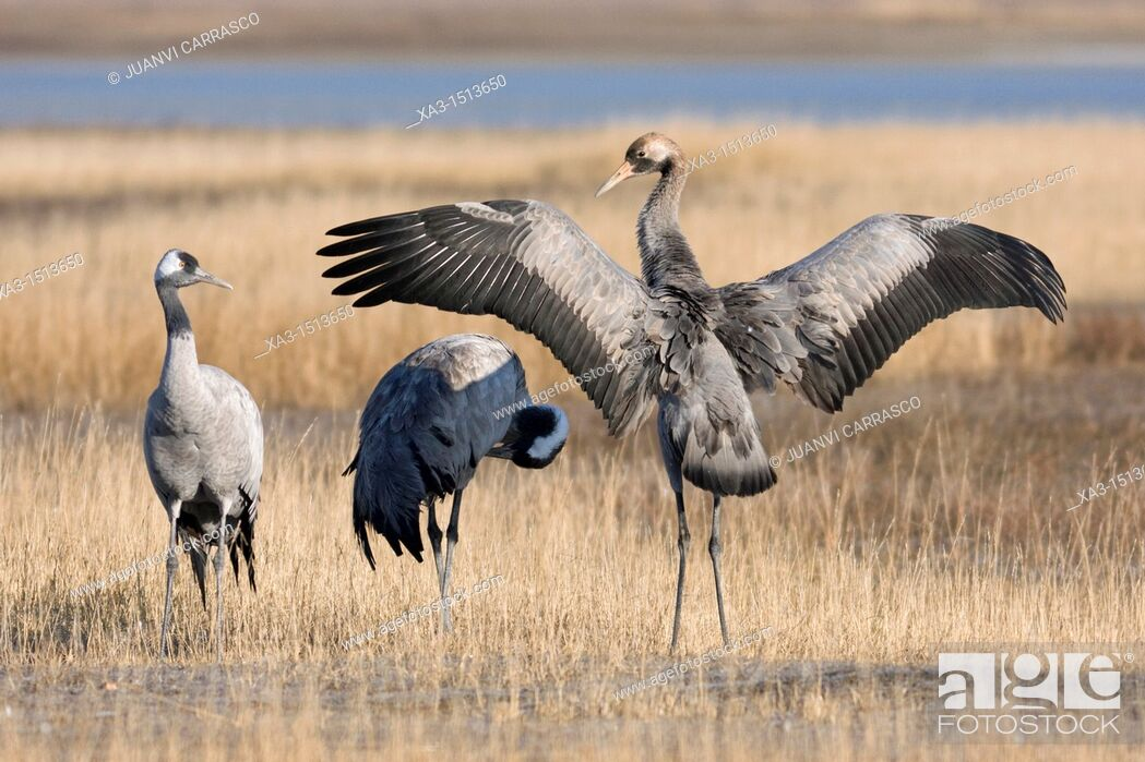 Stock Photo: Group of common cranes, Grus grus, at Gallocanta, Teruel, Spain.