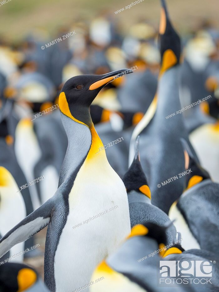 Imagen: Adult runnig through rookery while being pecked at by neighbours. King Penguin (Aptenodytes patagonicus) on the Falkland Islands in the South Atlantic.