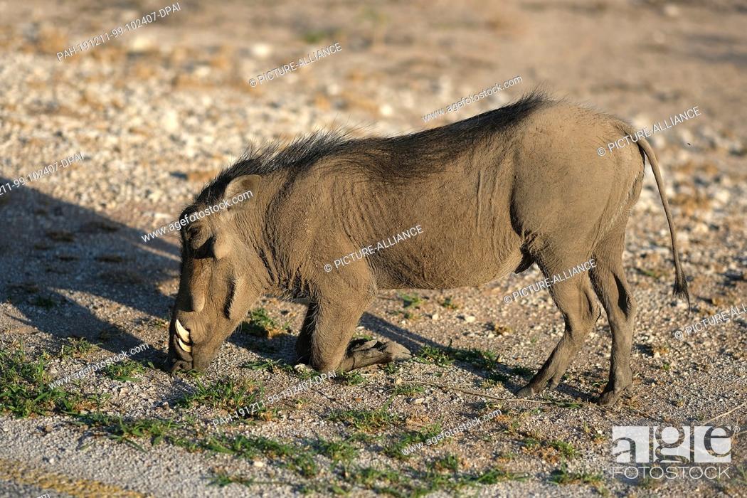 Stock Photo: 28 November 2019, Namibia, Etosha-Nationalpark: A warthog eats grass in Etosha National Park Photo: Oliver Berg/dpa. - Etosha-Nationalpark/Namibia.