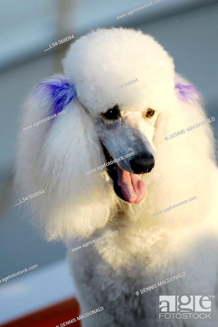 Stock Photo: White French Poodle.