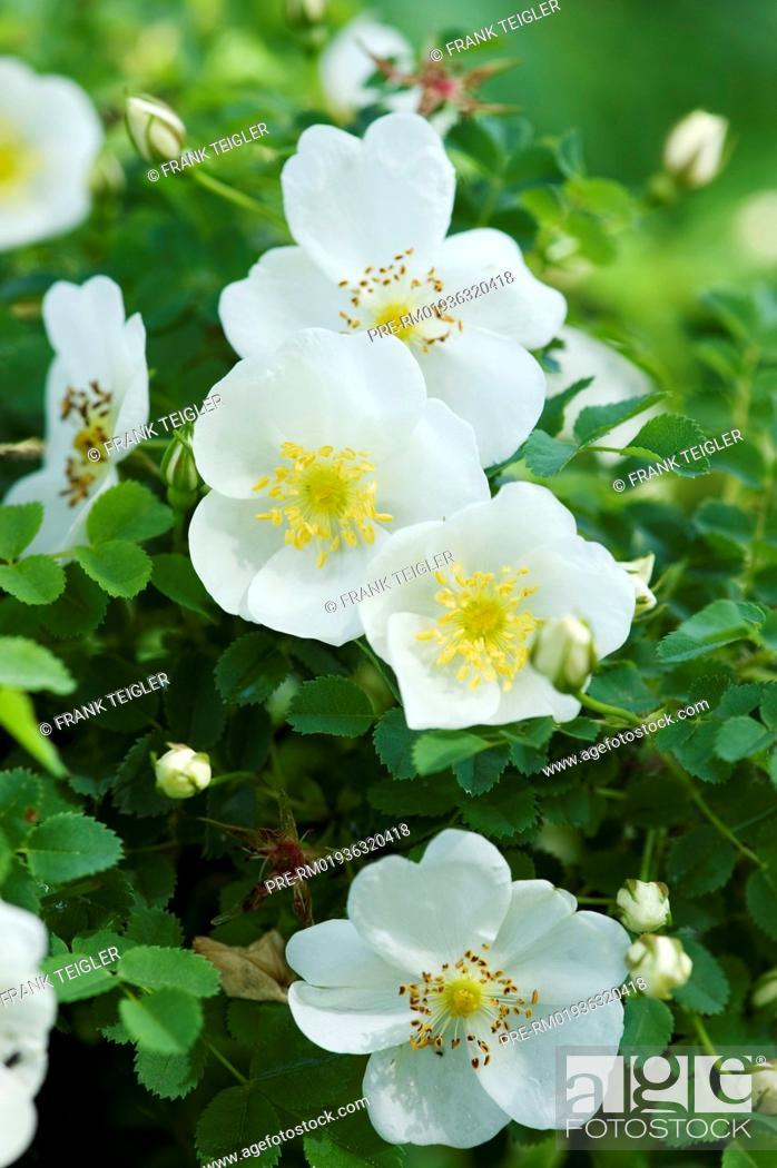 Stock Photo: Burnet Rose, Rosa spinosissima / Bibernell-Rose, Rosa spinosissima.
