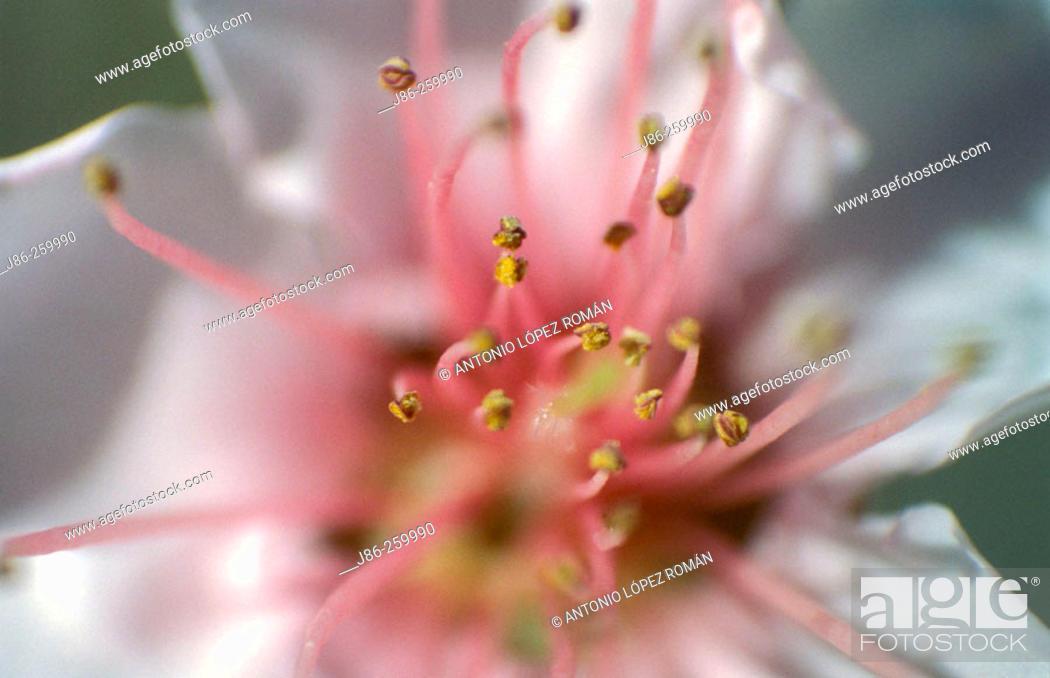 Stock Photo: Wild Plum (Prunus americana) stamens.