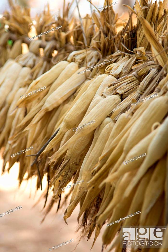 Stock Photo: A lot of cob corn, hung to dry in the autumn sun.