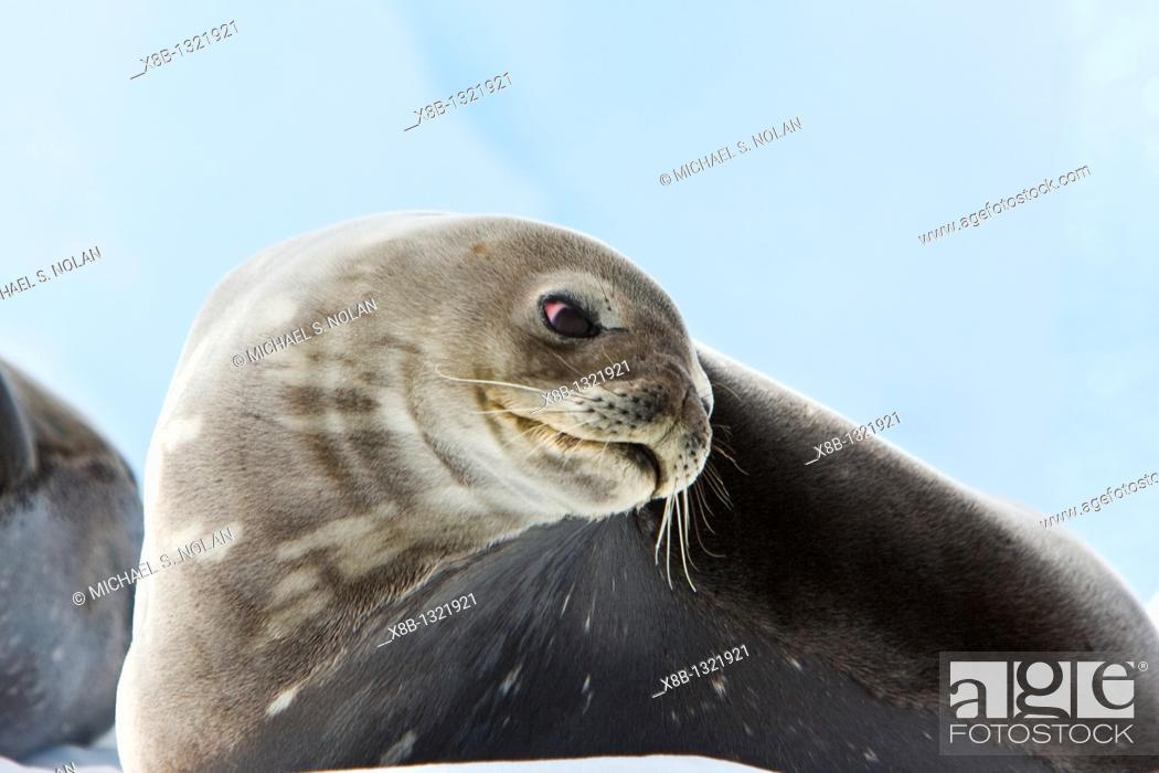 Imagen: Weddell Seal Leptonychotes weddellii hauled out on ice on Usefull Island near the Antarctic Peninsula, southern Ocean  This is the most southerly breeding seal.