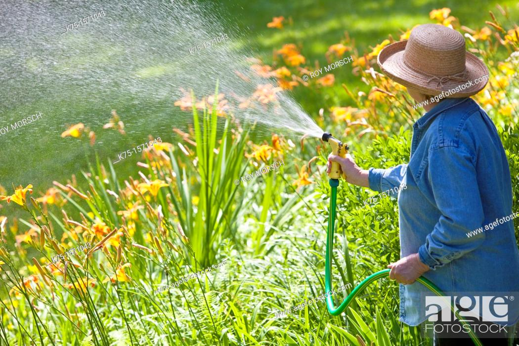 Stock Photo: Woman watering lilies in garden.