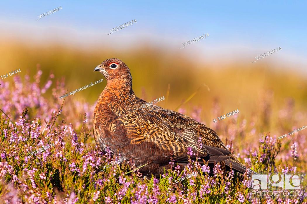 Stock Photo: A Red Grouse ( Lagopus lagopus scoticus ) in moorland , Yorkshire Dales , England , Uk.