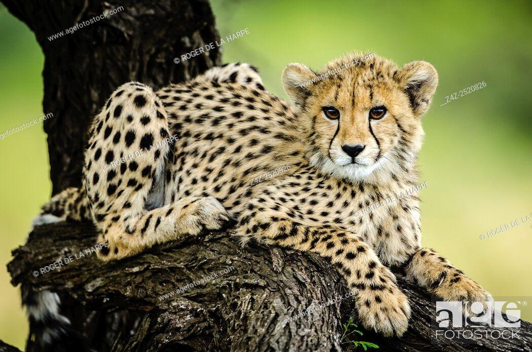 Imagen: Cheetah (Acinonyx jubatus). Phinda / Munyawana / Zuka Game Reserve. KwaZulu Natal. South Africa.