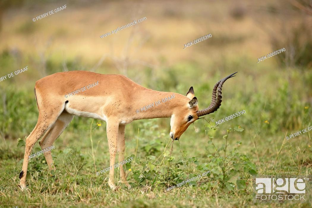 Imagen: Impala (Aepyceros melampus) male, rubbing forehead on vegetation for scent marking, South Africa, Mpumalanga, Kruger National Park.