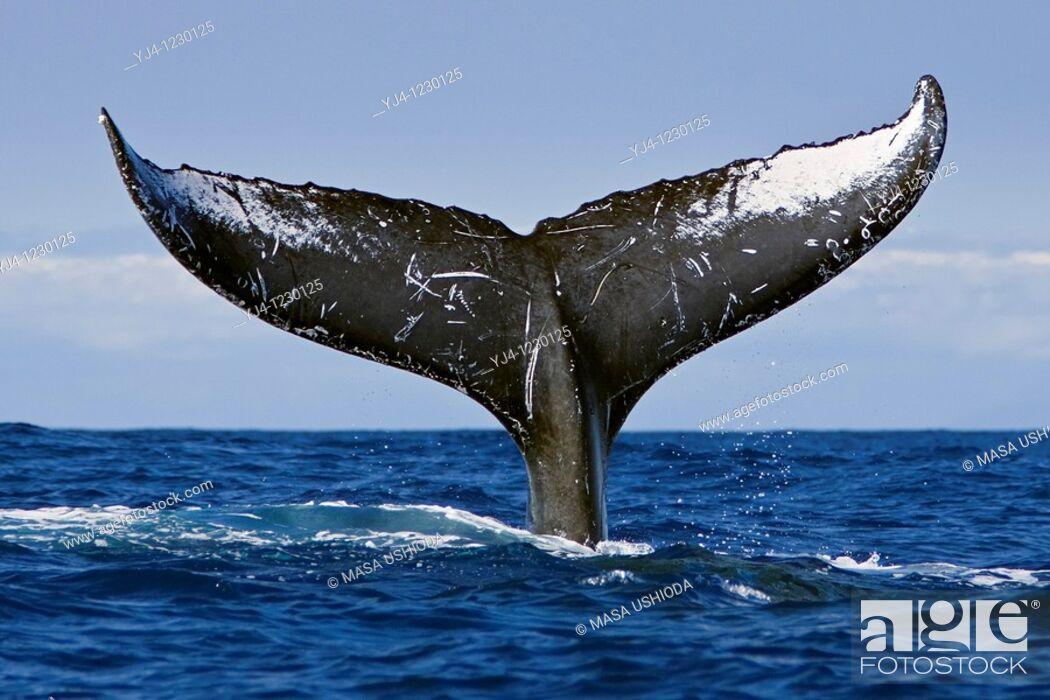 Stock Photo: humpback whale, Megaptera novaeangliae, lobtailing or tail slapping, Hawaii, USA, Pacific Ocean.
