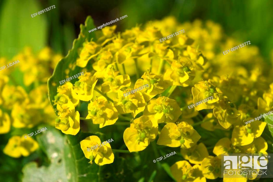 Stock Photo: Cypress Spurge (Euphorbia cyparissias) flowers.