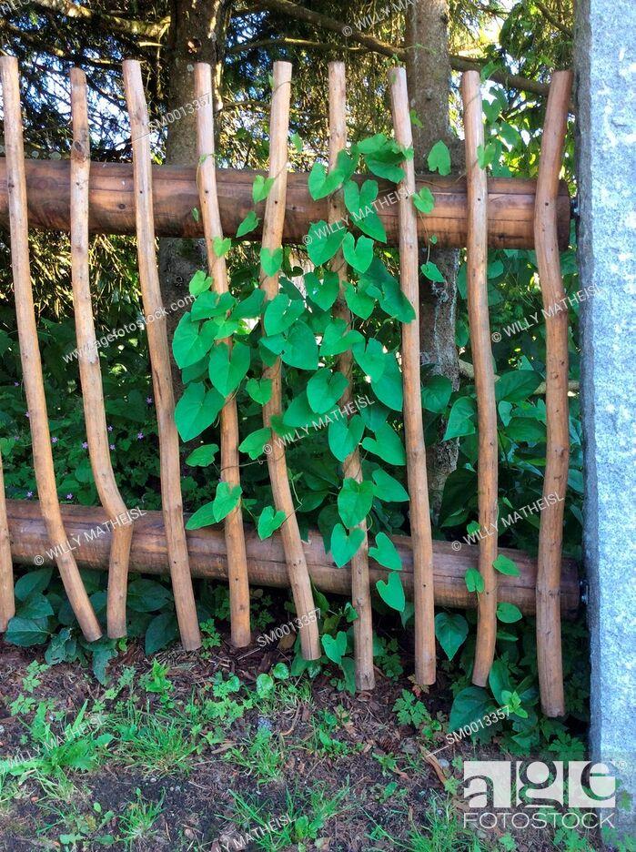Stock Photo: nasturtium climbing on wooden garden fence, Bavaria, Germany, Europe.