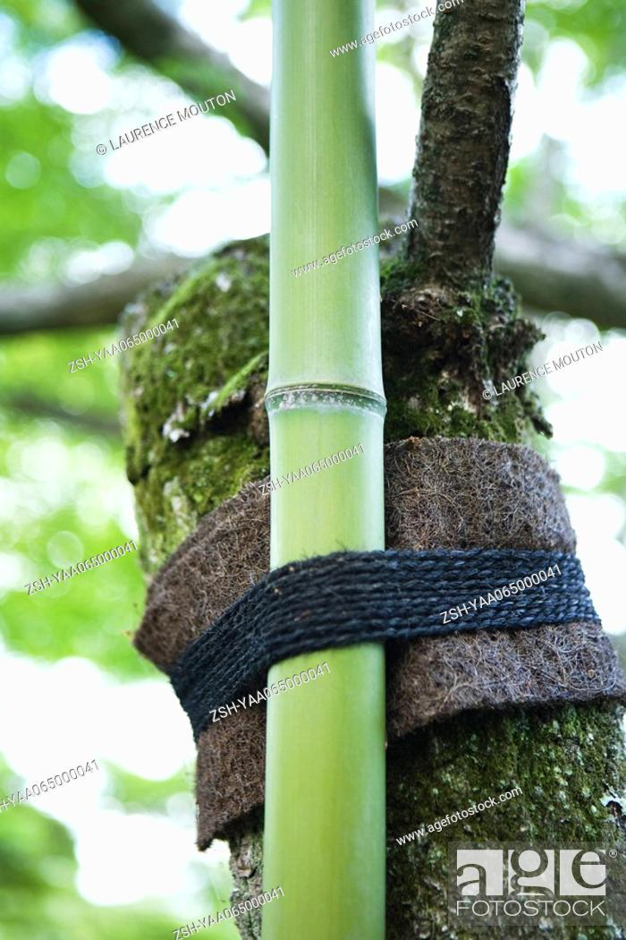 Stock Photo: Bamboo tied to tree branch, close-up.