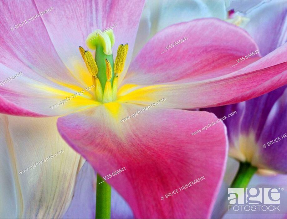 Stock Photo: Tulip flower close-up.
