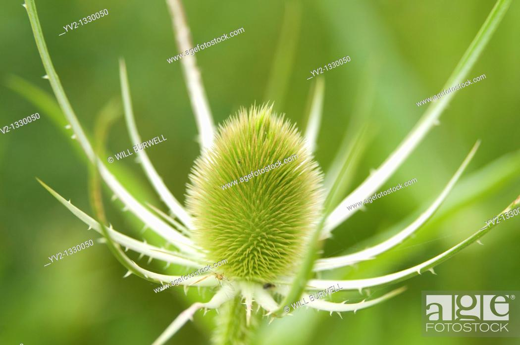 Stock Photo: Closeup of a green Teasel Bloom.