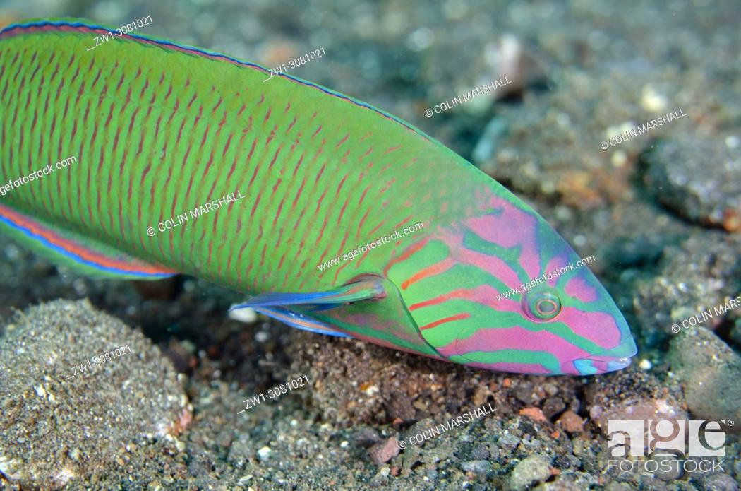 Photo de stock: Moon Wrasse (Thalassoma lunare, Labridae family), USAT (US Army Transport) Liberty Wreck dive site, Tulamben, east Bali, Indonesia.