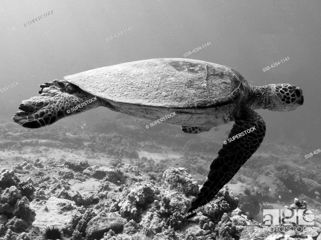 Stock Photo: Green sea turtle Chelonia mydas underwater.