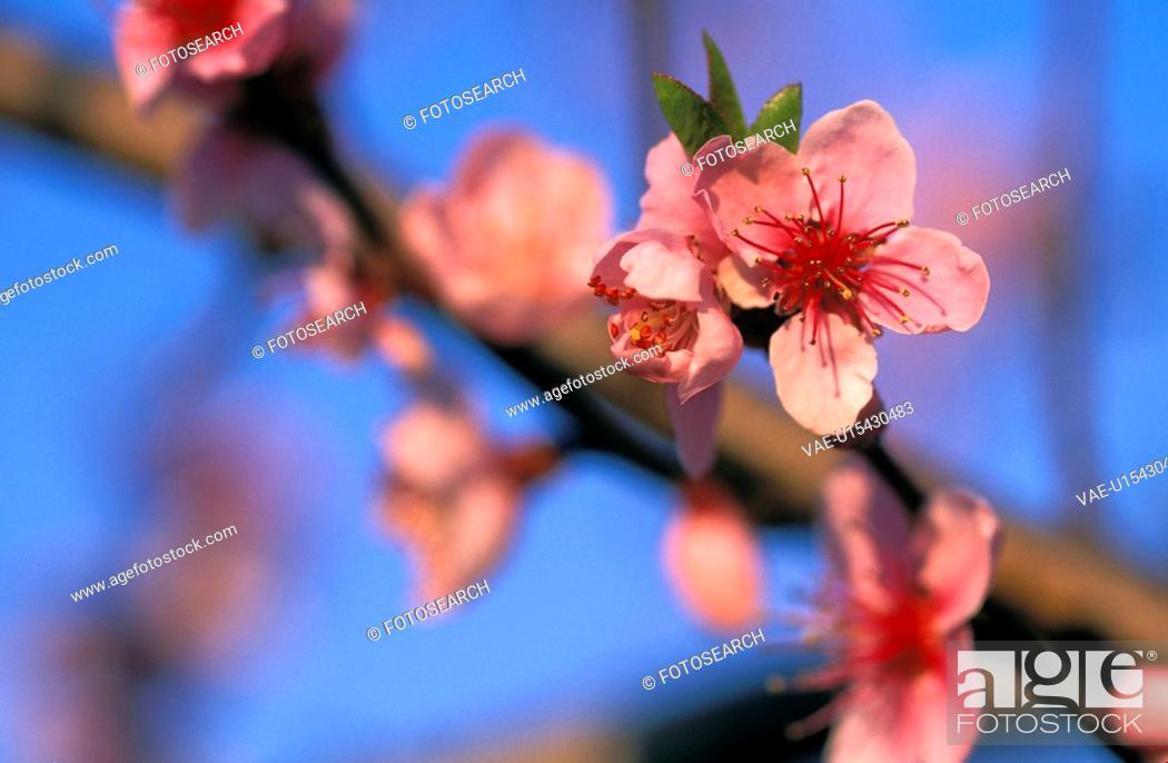 Stock Photo: stempel, austria, bloom, blue, branch, buds, calf.