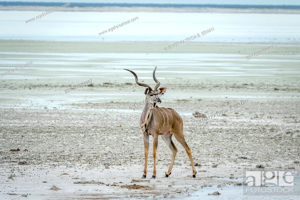 Stock Photo: Male Kudu standing at water in the Etosha National Park, Namibia.