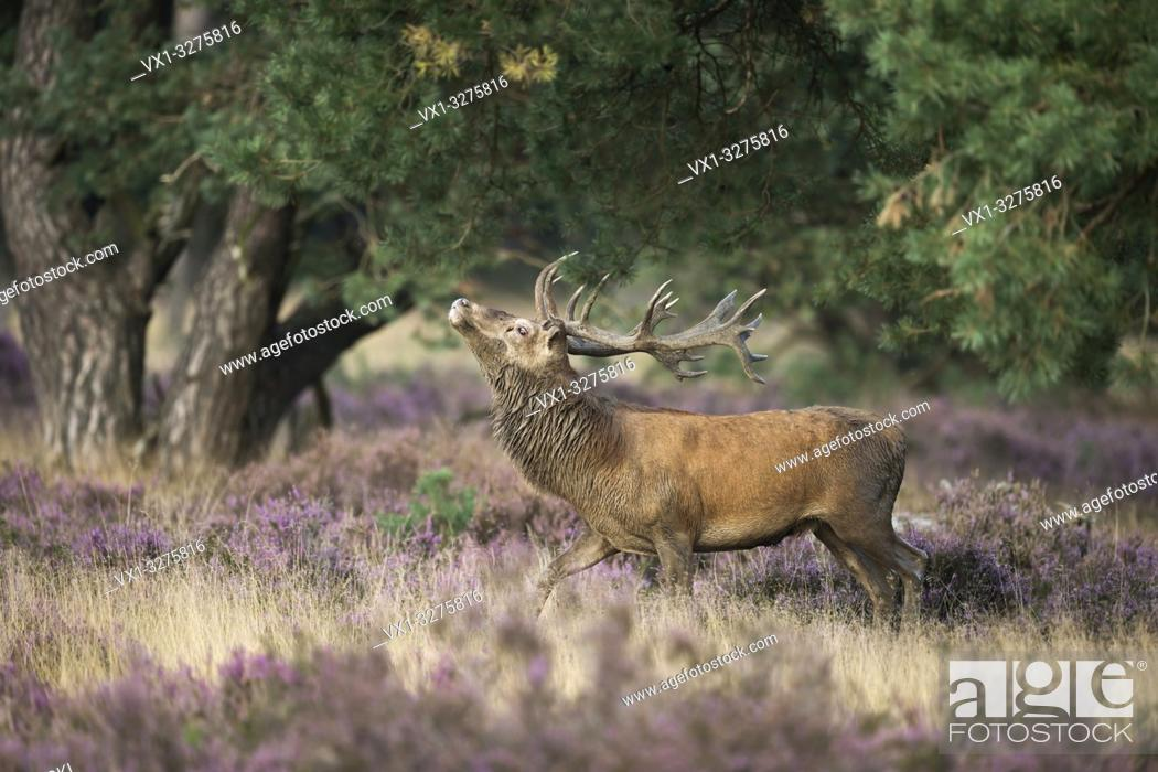 Stock Photo: Red Deer ( Cervus elaphus ), strong stag, threatening a rival through display behaviour, rut in purplish blooming heather.