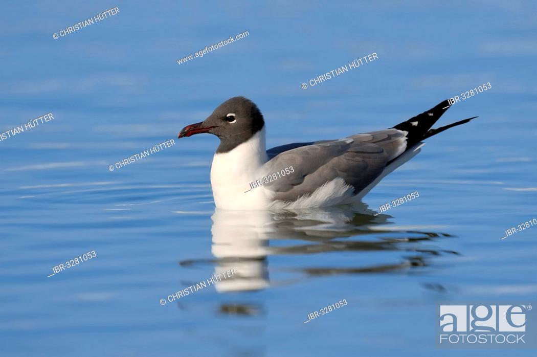 Imagen: Laughing Gull (Larus atricilla), swimming.