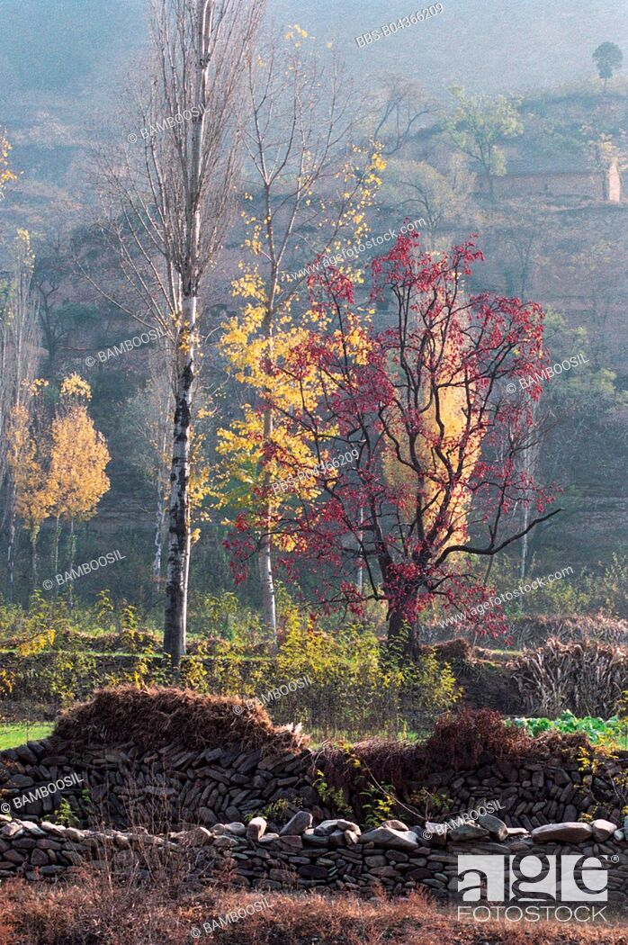 Imagen: Persimmon Trees and Birches at End of Chenjiazhuang Village, Yichuan County, Yan'an City, Shanxi Province, People's Republic of China.