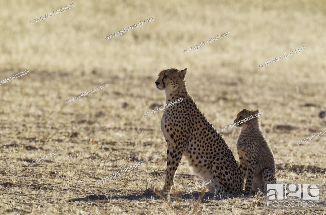 Stock Photo: Cheetah (Acinonyx jubatus). Female with cub. Kalahari Desert, Kgalagadi Transfrontier Park, South Africa.