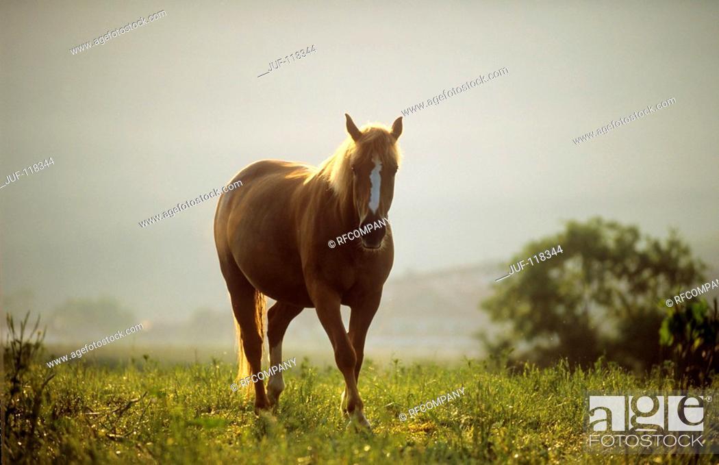Stock Photo: Finnhorse on meadow.