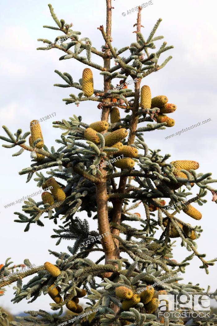 Stock Photo: Trees producing lots of seeds this dry summer to ensure reproduction while in emergency mode, as the tree itself might die.