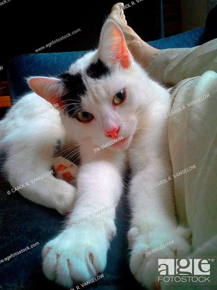 Photo de stock: White and black kitten sitting on couch next to owners lap.