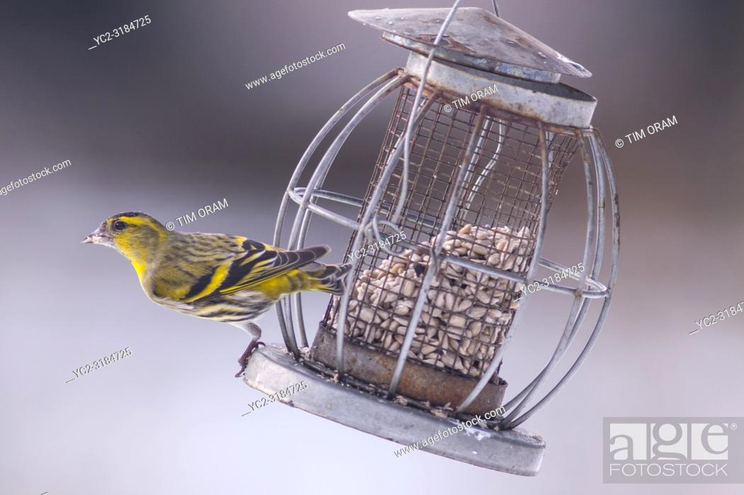 Stock Photo: A Eurasian Siskin (Carduelis spinus) adult male feeding in freezing conditions in a Norfolk garden.
