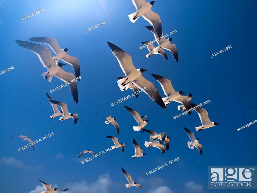 Stock Photo: full Animal Themes Flying, Gulls Bonaparte 1 Animal Flying Gull Bonaparte in sky (Chroicocephalus philadelphia), South America archipiélago Los Roques.