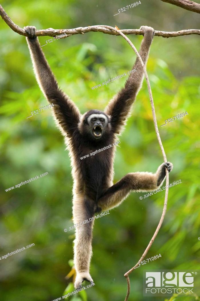 Stock Photo: Malaysia, Borneo Island. Borneo Gibbon (Hylobates muelleri).