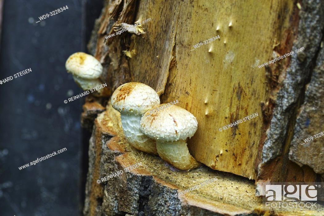 Stock Photo: mushrooms on dead wood trunks, Bavaria, Germany.