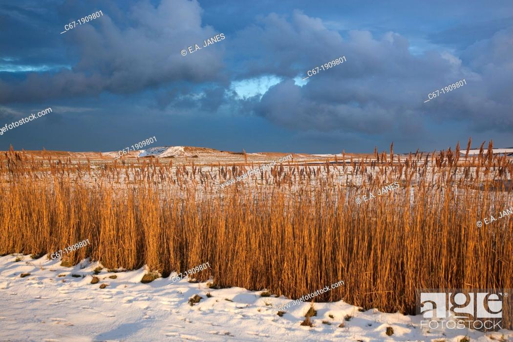 Stock Photo: Cley Mill and reedbed in Winter Norfolk.