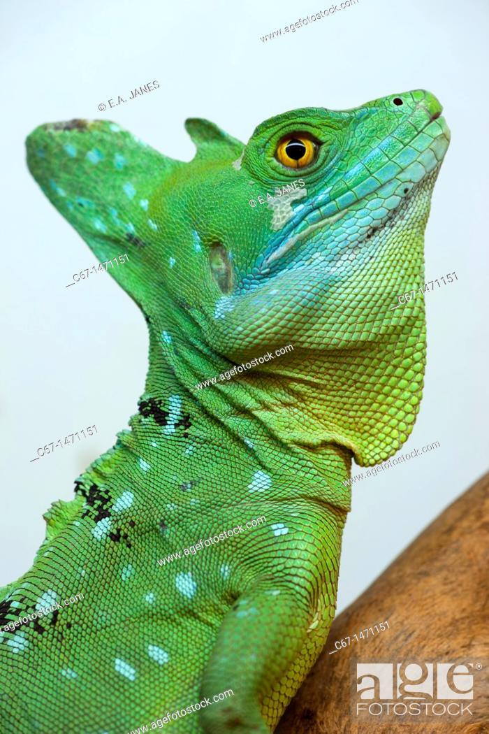 Stock Photo: Green Basilisk Basiliscus plumifrons side view portrait.