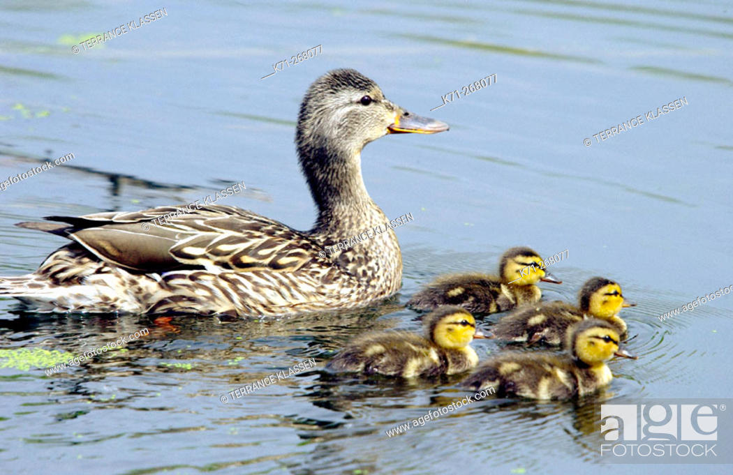 Stock Photo: Mallard duck and ducklings in the ponds of the Fort Whyte Nature Center in Winnipeg. Canada.