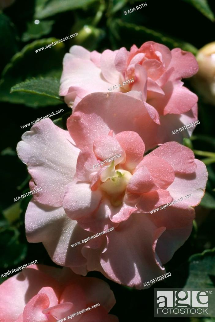 Stock Photo: Begonia - peach-pink - double - precious - iridescent ruffles - feminine - sophisticated.