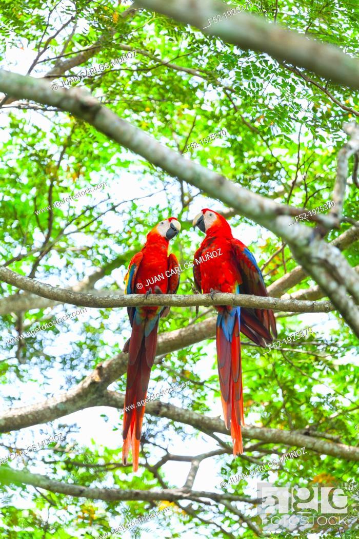 Imagen: Scarlet Macaw Ara macao.