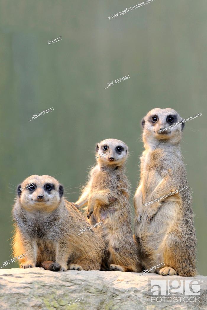 Stock Photo: Meerkats (Suricata suricatta), native to Africa, captive, Baden-Württemberg, Germany.