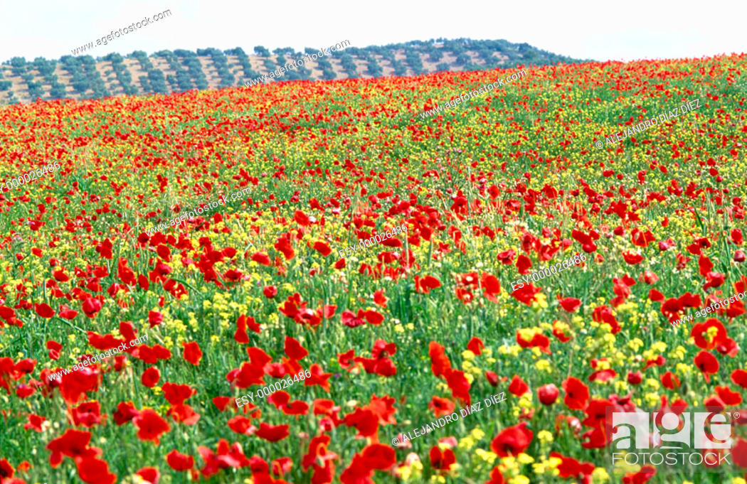 Stock Photo: Flandes Poppy (Papaver rhoeas) field.
