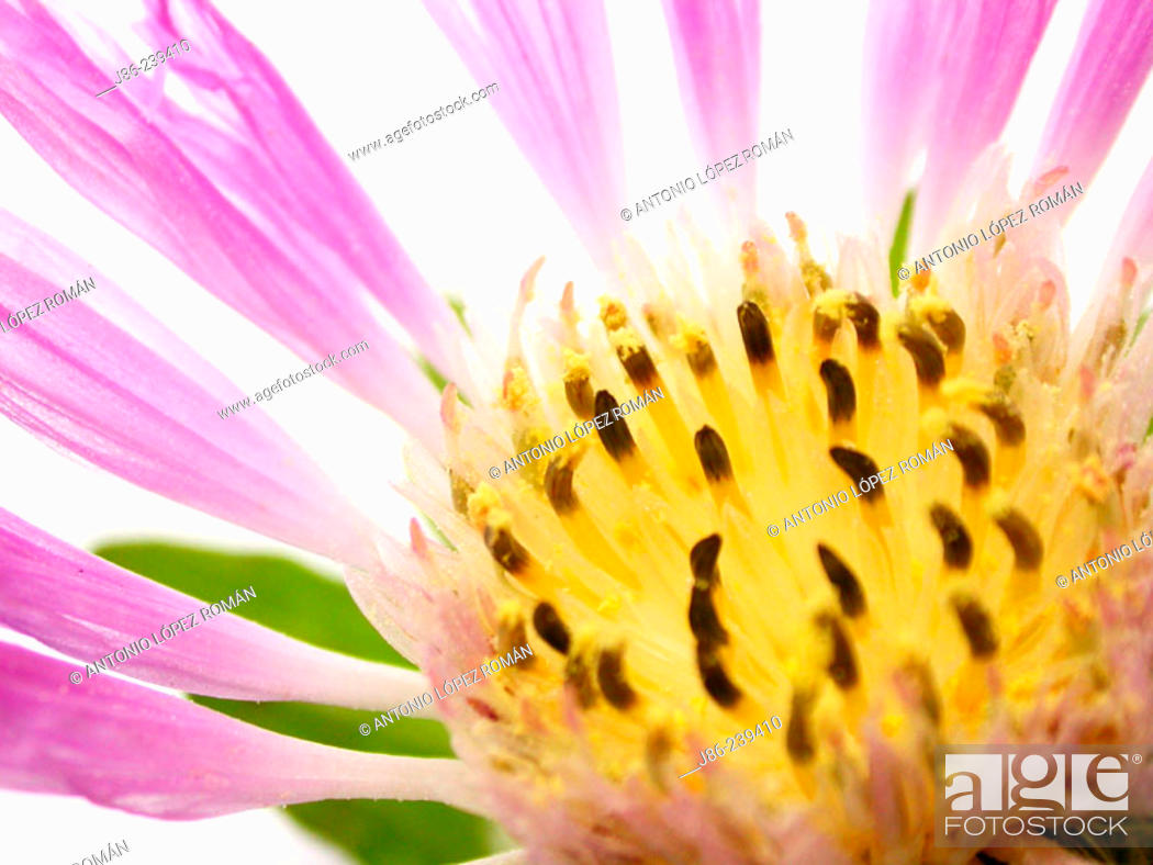 Stock Photo: Cornflower (Centaurea pullata).