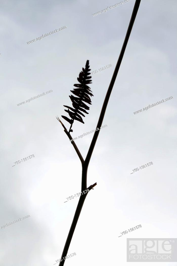Stock Photo: silhouette of long fern grass in field.